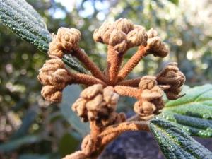 Rare large leafed Viburnum