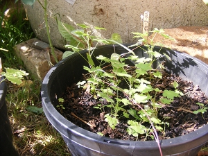 Pink gooseberry seedlings